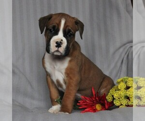 Boxer Dog for Adoption in NEW HOLLAND, Pennsylvania USA