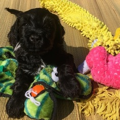 Portuguese Water Dog Puppy For Sale in WESTMINSTER, MD, USA
