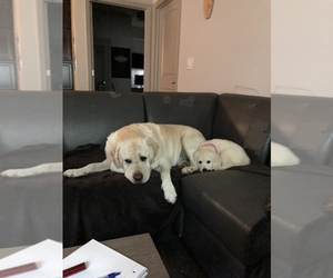 English Cream Golden Retriever Dog for Adoption in F M, Florida USA