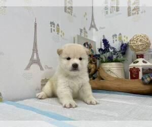 Shiba Inu Puppy for sale in MILWAUKEE, WI, USA