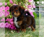 Small #5 Bernese Mountain Dog-Poodle (Toy) Mix
