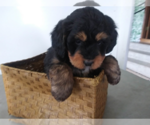 Bernedoodle Puppy for sale in TRAVERSE CITY, MI, USA
