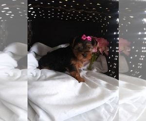 Yorkshire Terrier Puppy for sale in SHIPSHEWANA, IN, USA