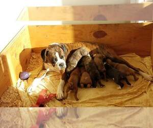 Boxer Puppy for Sale in WINLOCK, Washington USA