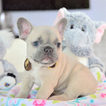 French Bulldog Puppy For Sale near 33309, Fort Lauderdale, FL, USA
