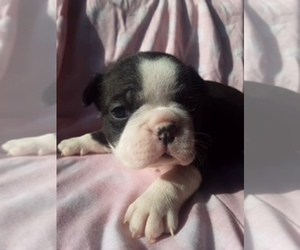 Faux Frenchbo Bulldog Puppy for sale in SCOTTVILLE, MI, USA