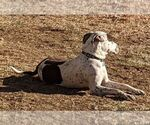 Small #14 German Shorthaired Pointer Mix