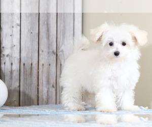 Maltipoo Puppy for Sale in MOUNT VERNON, Ohio USA