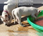 Small Photo #214 Dogo Argentino Puppy For Sale in PINEVILLE, MO, USA