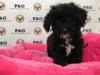 Poodle (Toy) Puppy For Sale in TEMPLE CITY, CA,
