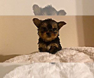 Yorkshire Terrier Dog for Adoption in LOCUST GROVE, Georgia USA