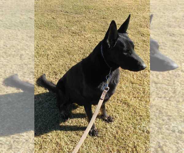 Medium Photo #2 German Shepherd Dog Puppy For Sale in EL CENTRO, CA, USA