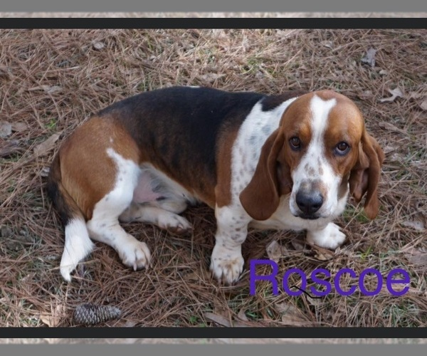 Medium Photo #1 Basset Hound Puppy For Sale in NESHOBA, MS, USA