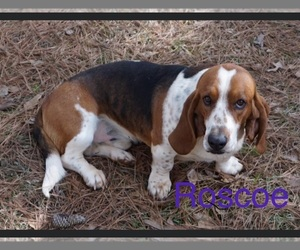 Father of the Basset Hound puppies born on 08/16/2020