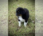 Small Photo #1 Australian Shepherd Puppy For Sale in HORN LAKE, MS, USA