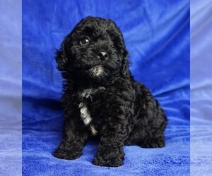 ShihPoo Puppy for sale in CLEARWATER, FL, USA