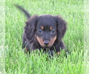 View Ad: Dachshund Puppy for Sale near Iowa, LE MARS, USA