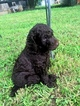 Poodle (Standard) Puppy For Sale in DONIPHAN, MO
