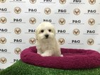Maltese-Poodle (Toy) Mix Puppy For Sale in TEMPLE CITY, CA, USA