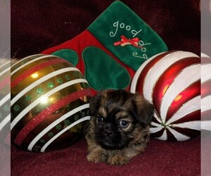 Shih Tzu Puppy for sale in CASSVILLE, MO, USA