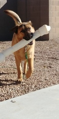 German Shepherd Dog-Labrador Retriever Mix Dog For Adoption in QUEEN CREEK, AZ, USA