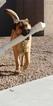 Small German Shepherd Dog-Labrador Retriever Mix
