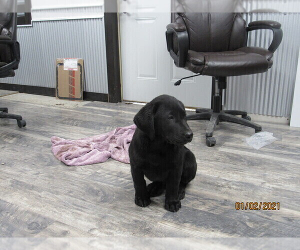 Medium Photo #3 Labrador Retriever Puppy For Sale in SARCOXIE, MO, USA