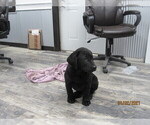 Small Photo #3 Labrador Retriever Puppy For Sale in SARCOXIE, MO, USA