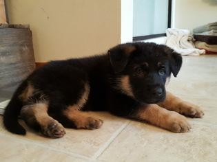 German Shepherd Dog Puppy For Sale in ROCHESTER, WA, USA