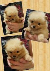 Pomeranian Dog For Adoption in AMARILLO, TX