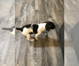 German Shorthaired Pointer Puppy for sale in LEMOORE, CA, USA
