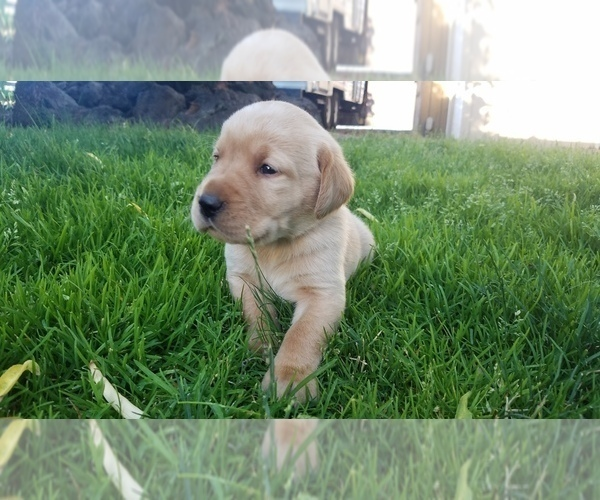 Full screen Photo #6 Labrador Retriever Puppy For Sale in YAKIMA, WA, USA