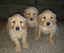 Golden Retriever Puppy For Sale in MCCLEARY, WA, USA