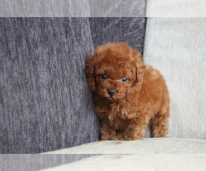 Poodle (Toy) Puppy for sale in BEVERLY HILLS, CA, USA