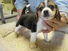Beagle Puppy For Sale in CANONSBURG, PA
