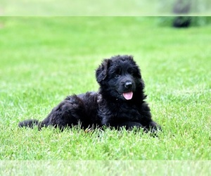 German Shepherd Dog Puppy for sale in CRESCENT CITY, CA, USA