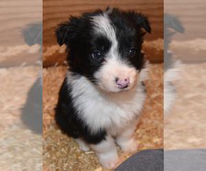 Border Collie Puppy for Sale in WHITE SALMON, Washington USA