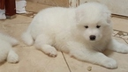 Samoyed Puppy For Sale in IRVING, NY