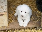 Great Pyrenees Puppy For Sale in WAPELLO, IA