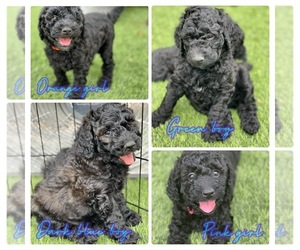Labradoodle Puppy for Sale in AVONDALE-GOODYEAR, Arizona USA