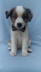 Australian Shepherd Puppy For Sale in NOTTINGHAM, PA, USA