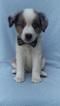 Australian Shepherd Puppy For Sale in NOTTINGHAM, PA, USA
