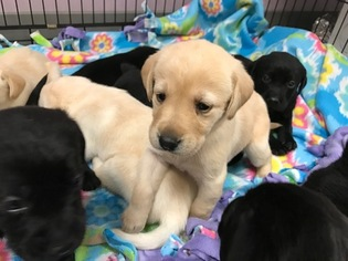 Labrador Retriever Puppy For Sale in WILSONVILLE, OR