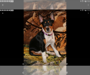 Mother of the Rat Terrier puppies born on 02/19/2019