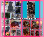 Rottweiler Puppy For Sale in EDEN, IN, USA