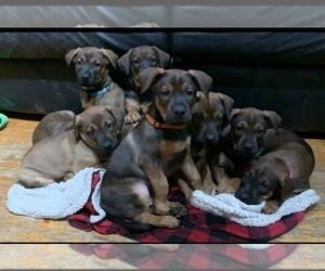 Belgian Malinois-Doberman Pinscher Mix Puppy for Sale in MILLBROOK, New York USA