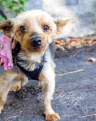 Helena - Yorkshire Terrier Yorkie Dog For Adoption