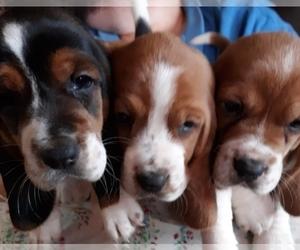 Basset Hound Puppy for Sale in CHICKASHA, Oklahoma USA