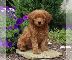 View Ad Goldendoodle Poodle Miniature Mix Puppy For Sale