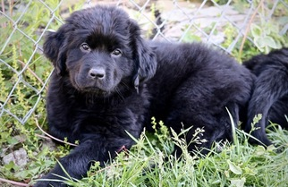 Newfoundland Puppy For Sale in INDEPENDENCE, KY